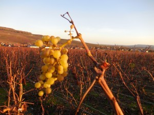 Grapes, wine field, champagne, local producer of champagne, Champagne tour